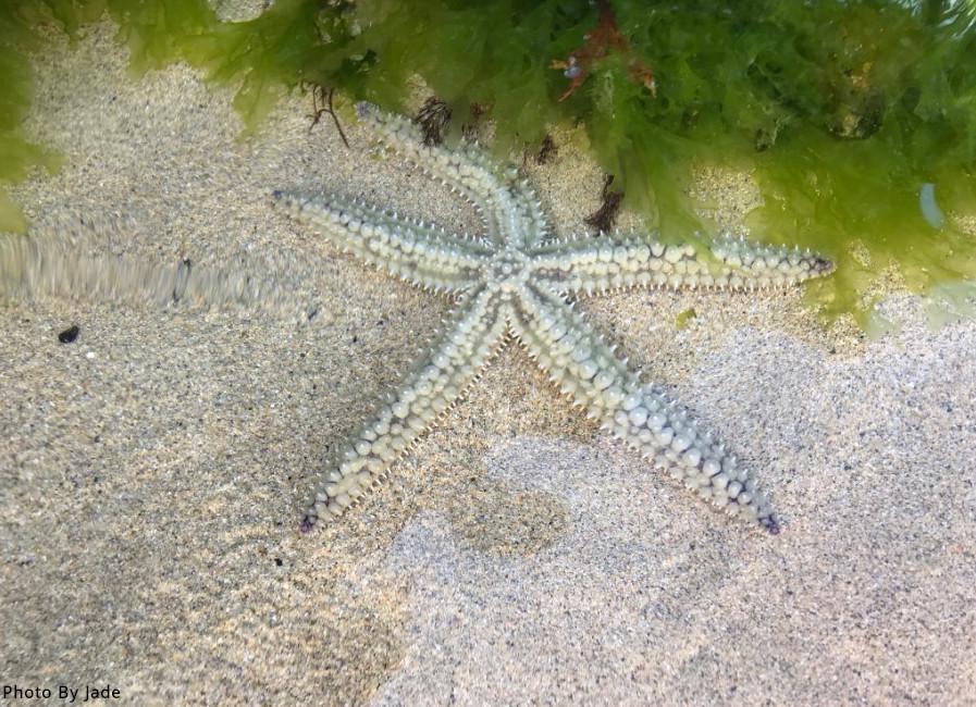 Spiny starfish2