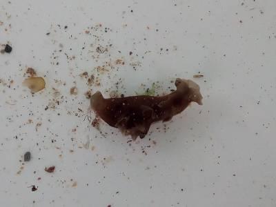Sea Hare (Aplysia punctata)