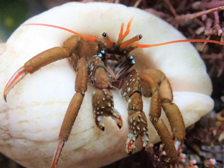 St Piran's hermit crab