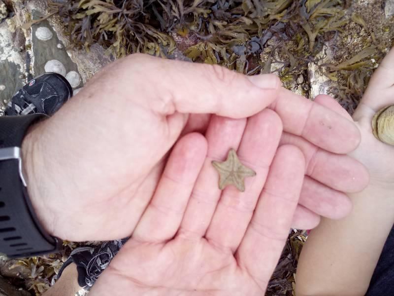 Asterina gibbosa.95.small