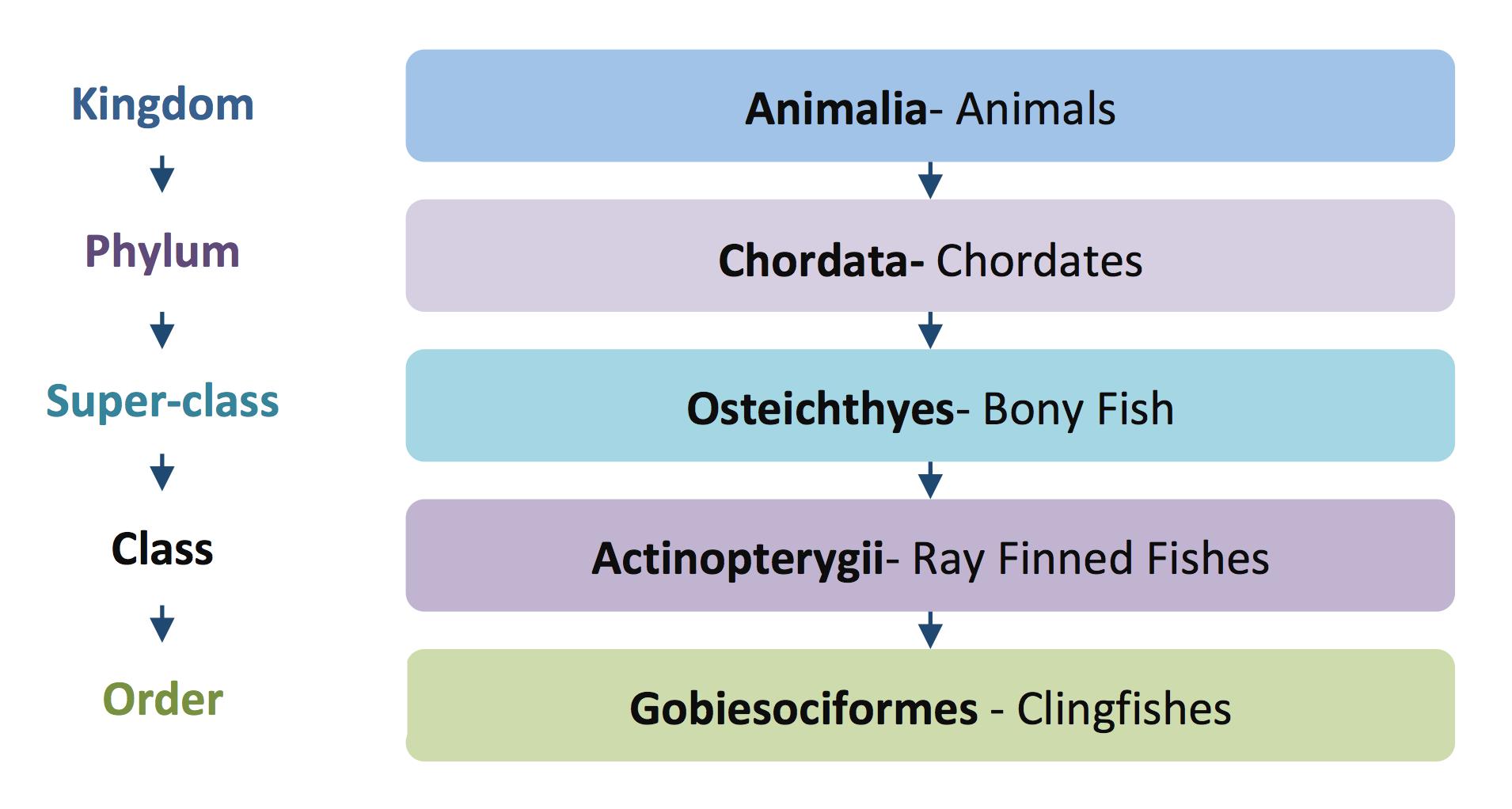 Cornish sucker taxonomy