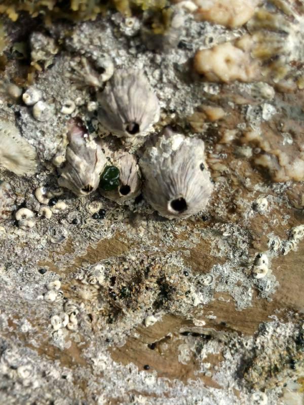 Balanus perforatus.132.small
