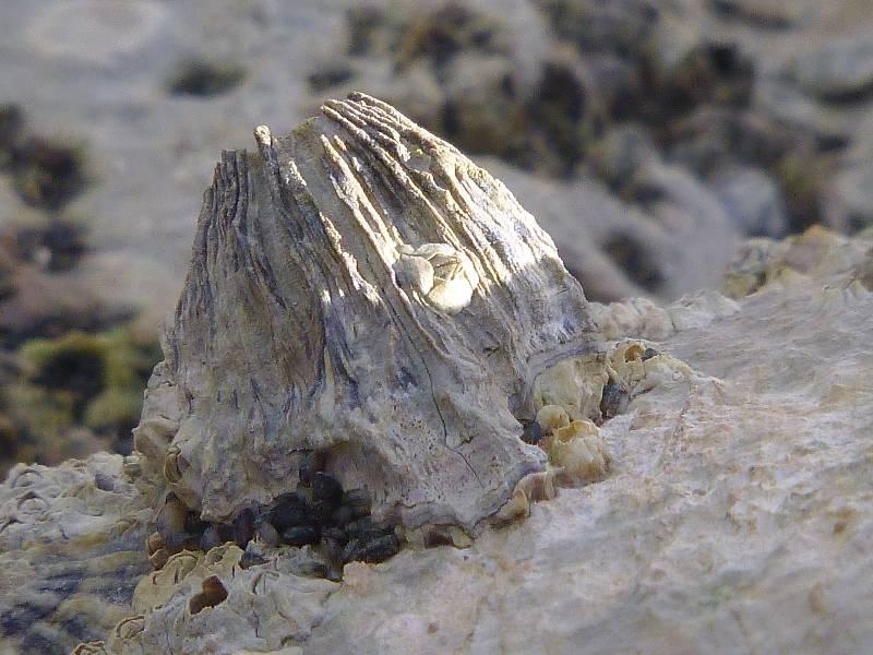 Volcano barnacle close.small