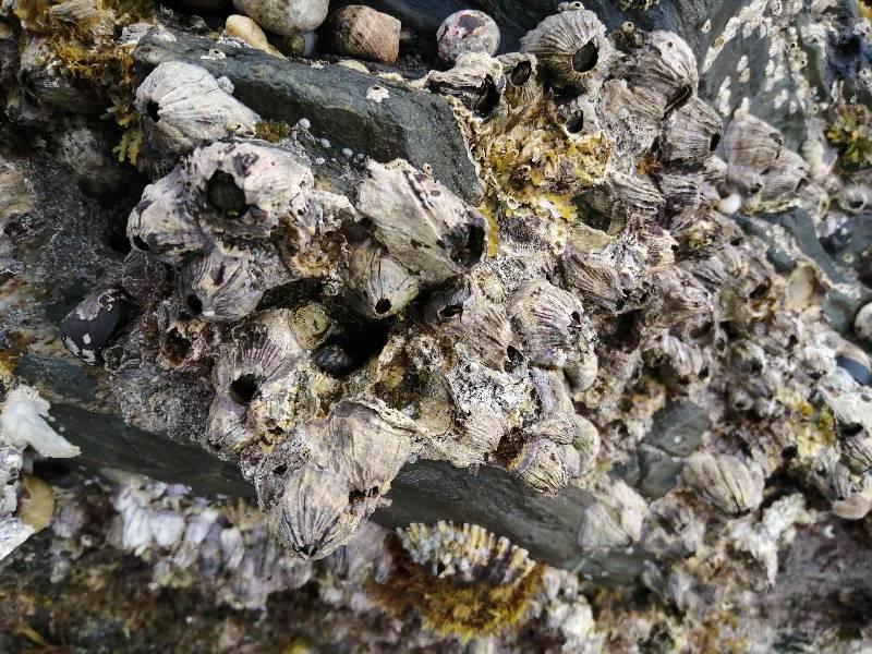 Volcano barnacles n.small