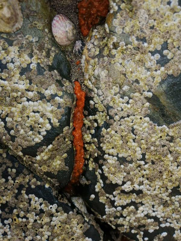 barnacles, orange encrusting sponge, flat top shell k-min.small