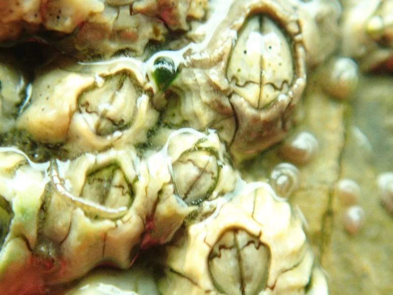 montagu's barnacle.small