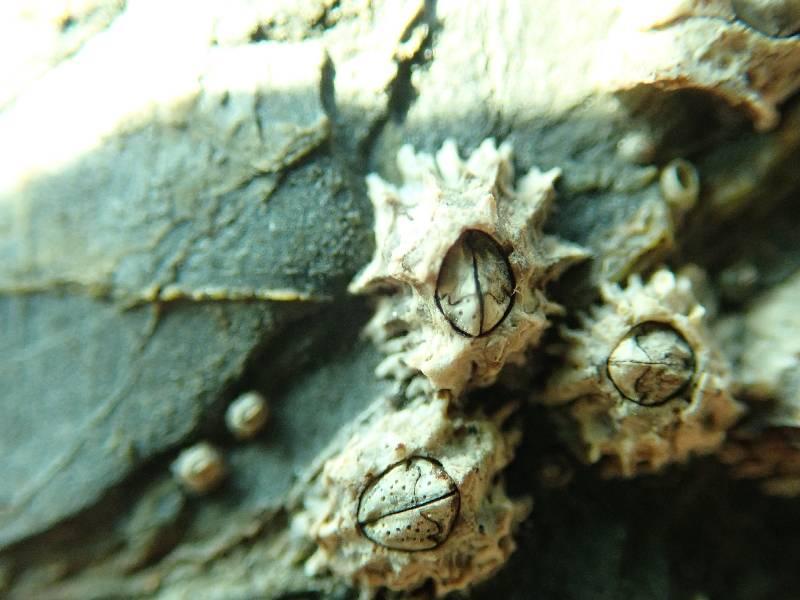 poli's barnacle.small