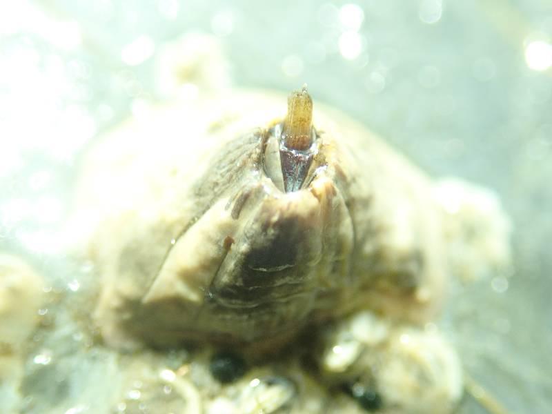 volcano barnacle.small