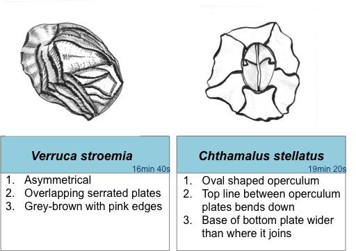 barnacle ID 1- Laura