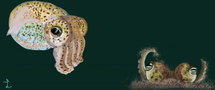 Atlantic Bobtail Squid