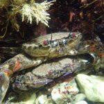 velvet swimming crab - Castle Beach South - 04 Aug 21
