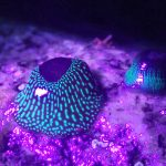 strawberry anemone - Castle Beach South - 04 Aug 21