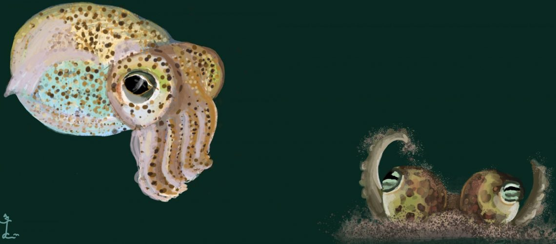 bobtail squid illustration 2 Laura