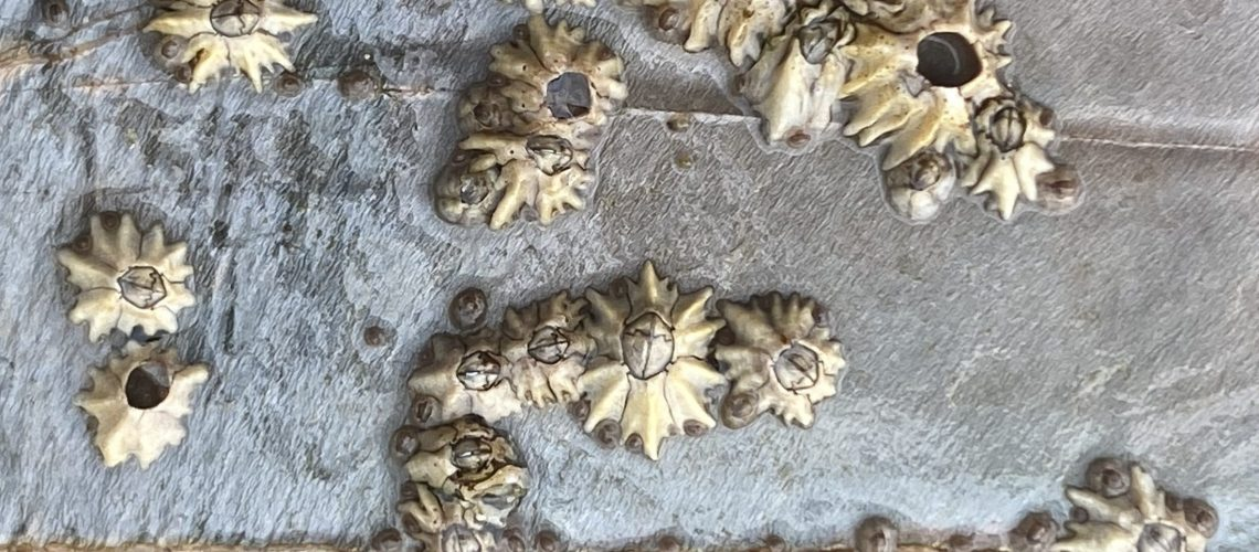 barnacle ID 4 laura
