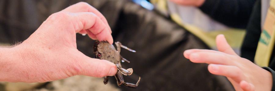 velvet-swimmer-crab-mobile-rock-pool-rock-pool-project